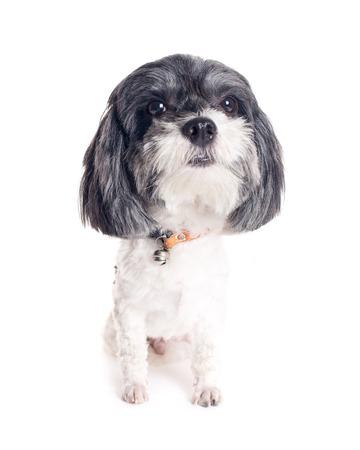 grosse tete: Grosse t�te chien sur fond blanc.