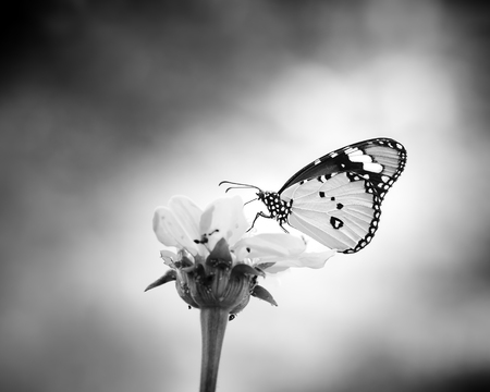 Butterfly in nature. Black and white photo