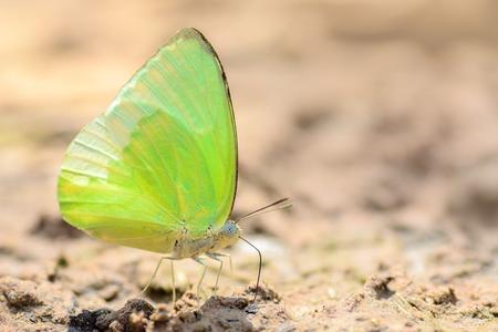 emigrant: Butterfly eat salt marsh.(Lemon Emigrant ; Catopsilia Pomona)