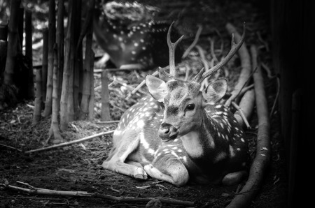 nature photo: Deer in nature. Black and white photo