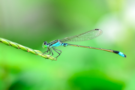 Blue Dragonfly in nature. Stock Photo