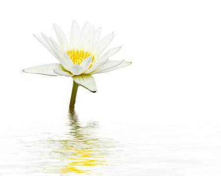 lirio blanco: Flor de loto blanco reflejo en el agua sobre fondo blanco. Foto de archivo