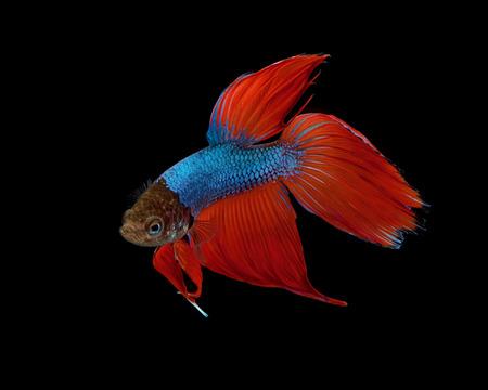 dragon swim: Siamese fighting fish isolated on black background., Betta fish.