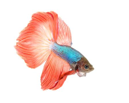 aquarium hobby: Siamese fighting fish isolated on white background., Betta fish. Stock Photo