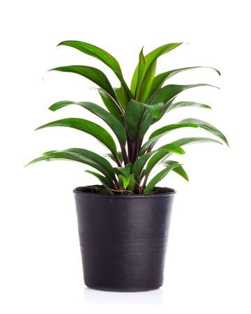 Plant in pot isolated on white background. 版權商用圖片