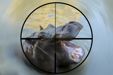 Concept of a young male hippopotamus seen in the crosshairs of the scope of a hunter or poachers rifle