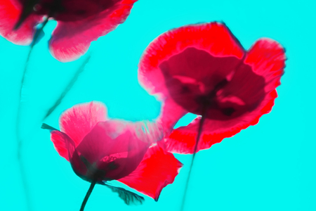 abstract blurred background of color tulips. No focus