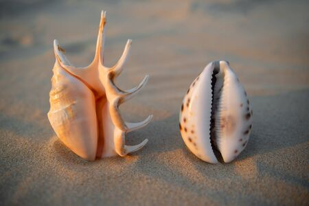 Vagina-shaped seashells lie on the sand.. Female health concept
