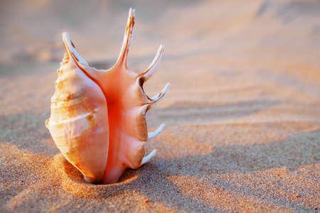 nautilus sea shell on golden sand beach in soft sunset light 스톡 콘텐츠