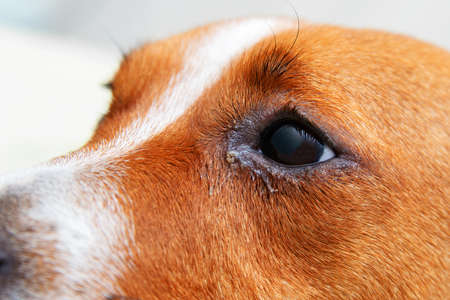 Close up of redness and bump in the eye of a dog. conjunctivitis eyes of dog. Medical and Health care of pet concept.