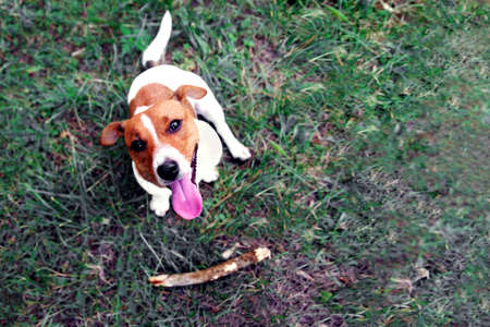 Clever obedient loyal dog Jack Russell Terrier brought a stick to the owner. Command for a dog aport. Dog training concept.