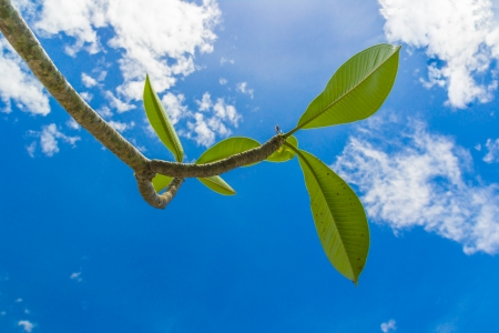 frangipani leafs under blue sky of sunny day photo