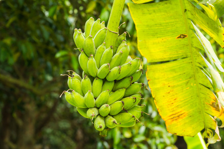 banana on tree of Thailand fruit with leaf Stock Photo