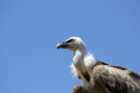 assailant: Vulture isolated in blue background Stock Photo