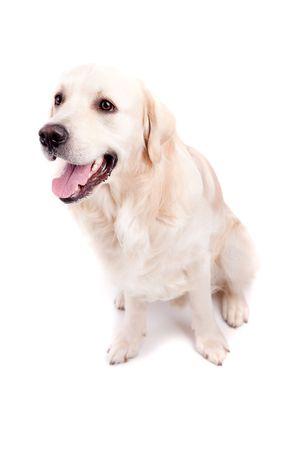 Golden Retriever Portrait - Isolated over white background photo