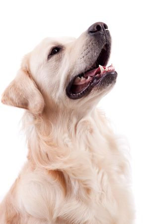 Golden Retriever Portrait - Isolated over white background photo