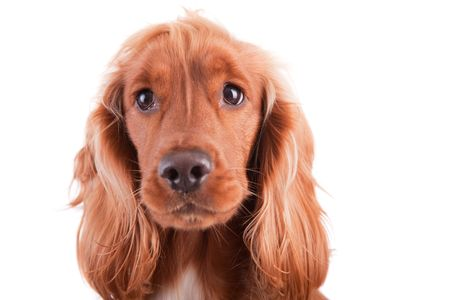 Baby Cocker Spaniel isolated over white photo