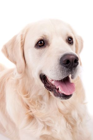Golden Retriever Portrait - isolated on white photo