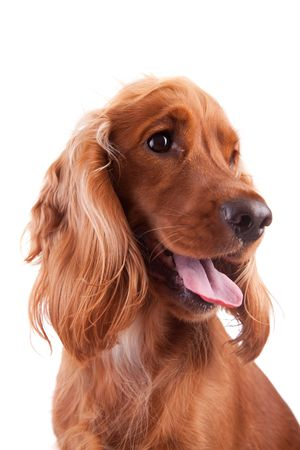 Baby Cocker Spaniel isolated over white background