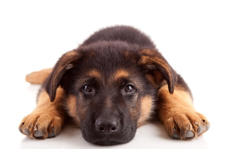 pastor de ovejas: Perro pastor alem�n, aislado en blanco