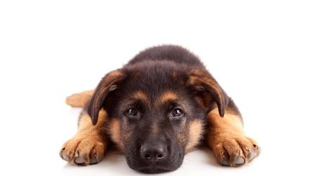 german shepherd puppy: German Shepherd dog, isolated over white Stock Photo
