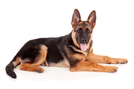 German Shepherd dog, isolated over white Stock Photo - 10632222