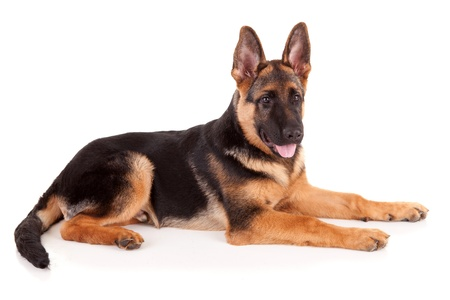 German Shepherd dog, isolated over white photo
