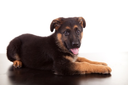 German Shepherd dog, isolated over white Stock Photo - 11953399