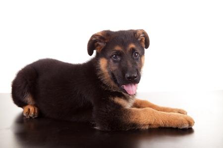 German Shepherd dog, isolated over white photo