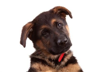german shepherd dog: German Shepherd dog, isolated over white Stock Photo