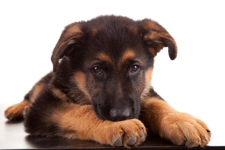 German Shepherd dog, isolated over white Stock Photo