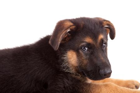German Shepherd dog, isolated over white Stock Photo - 11953351