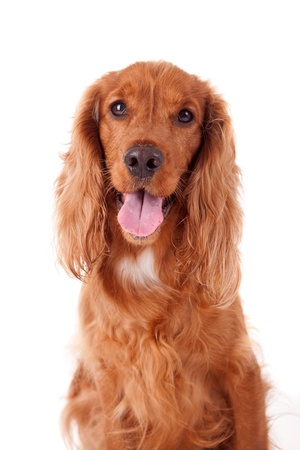 Baby Cocker Spaniel isolated over white background photo