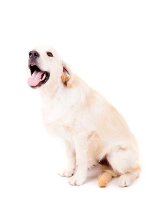 Studio photo of a baby golden retriever, isolated over a white background Stock Photo - 17124182