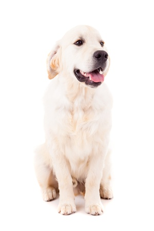 Studio photo of a baby golden retriever, isolated over a white background Stock Photo - 17124203