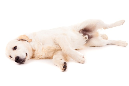 Studio photo of a baby golden retriever, isolated over a white background photo