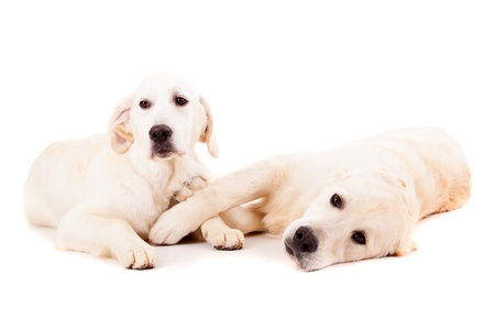 Studio photo of a couple of golden retriever puppies, isolated over a white background Stock Photo - 17124209
