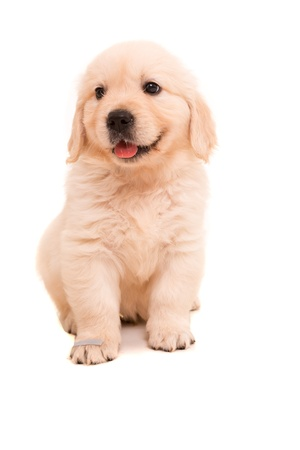 cute puppy: Studio photo of a baby golden retriever, isolated over a white background Stock Photo
