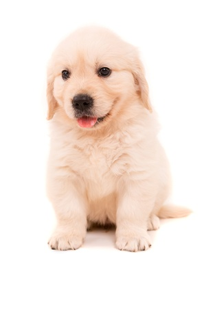 closeup puppy: Studio photo of a baby golden retriever, isolated over a white background Stock Photo