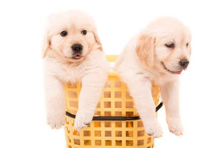 labrador puppy: Studio photo of baby golden retrievers, isolated over a white background Stock Photo