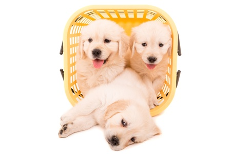 Studio photo of baby golden retrievers, isolated over a white background photo