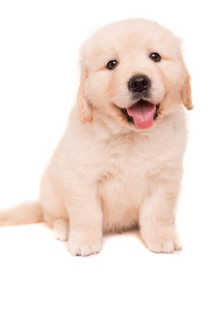 Studio photo of a baby golden retriever, isolated over a white background Stock Photo