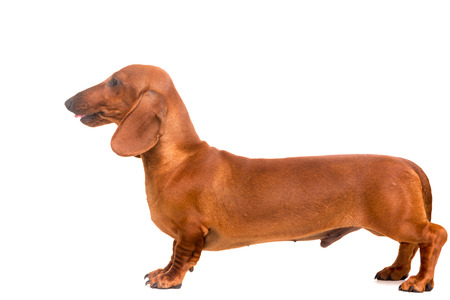 A young and beautiful teckel puppy, isolated over white background photo