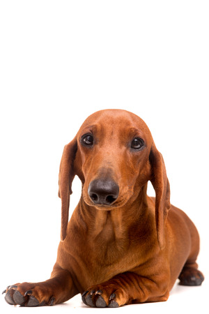wirehair: A young and beautiful teckel puppy, isolated over white background