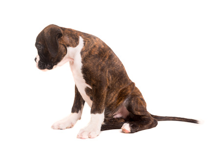 sad dog: A young and beautiful boxer puppy, isolated over white background Stock Photo