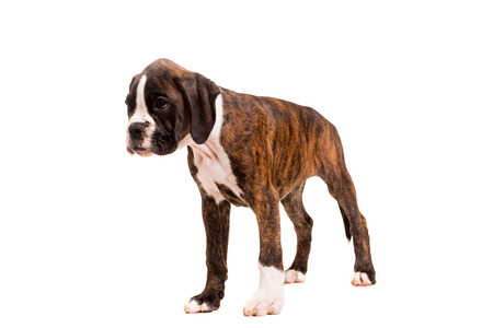 A young and beautiful boxer puppy, isolated over white background photo