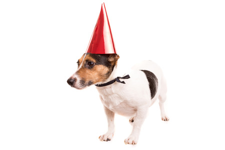 Jack Russell puppy wearing a festive hat, isolated over white photo