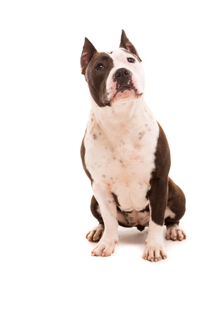 A baby American Staffordshire Terrier, posing isolated over a white background photo