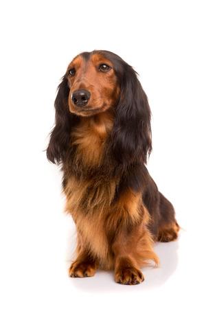 Studio shot of a beautiful long hair teckel (dachshund)  photo
