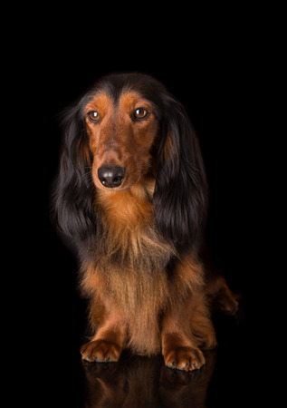 Studio shot of a beautiful long hair teckel (dachshund)  photo